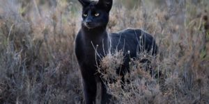 Melanistic serval at Namiri Plains