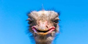 13 Fun facts about ostriches