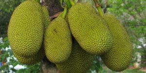 Vegans can rejoice as Jackfruit is voted the Taste of 2020