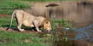 The Lion Defenders of Ruaha