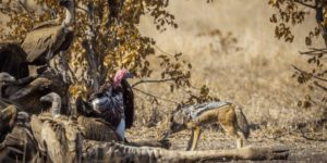 Day of the jackal – Travel Africa Magazine