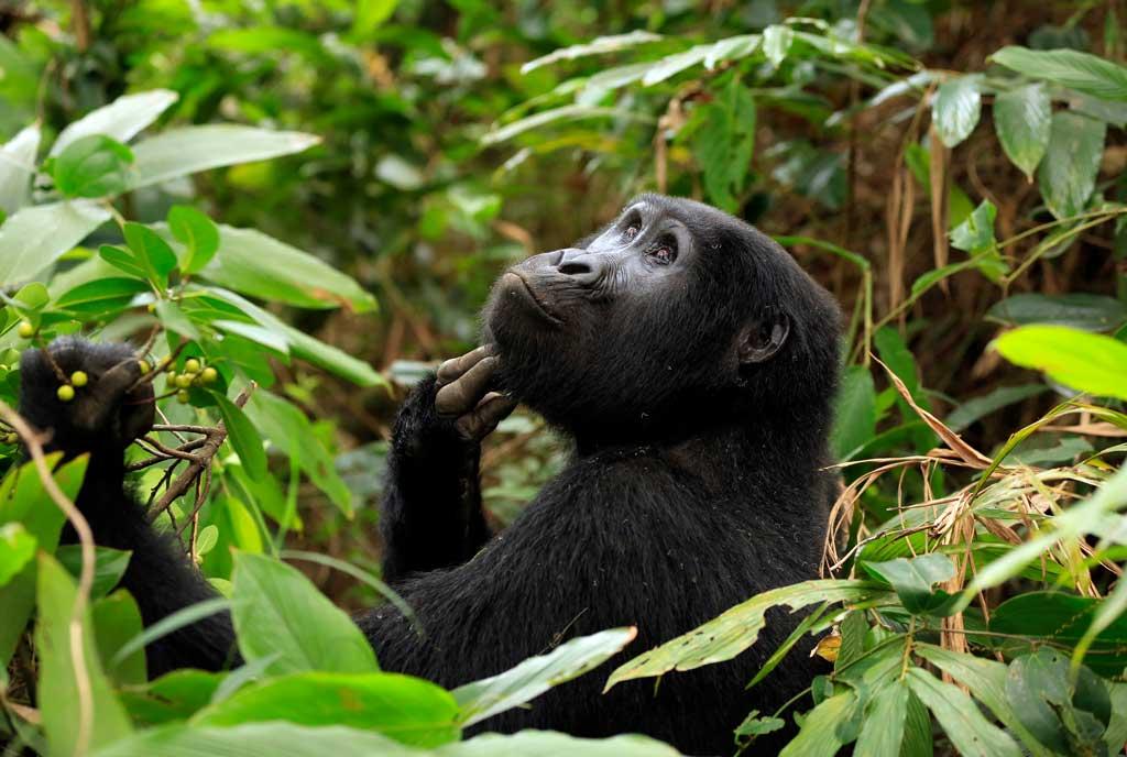 Can great apes get coronavirus?