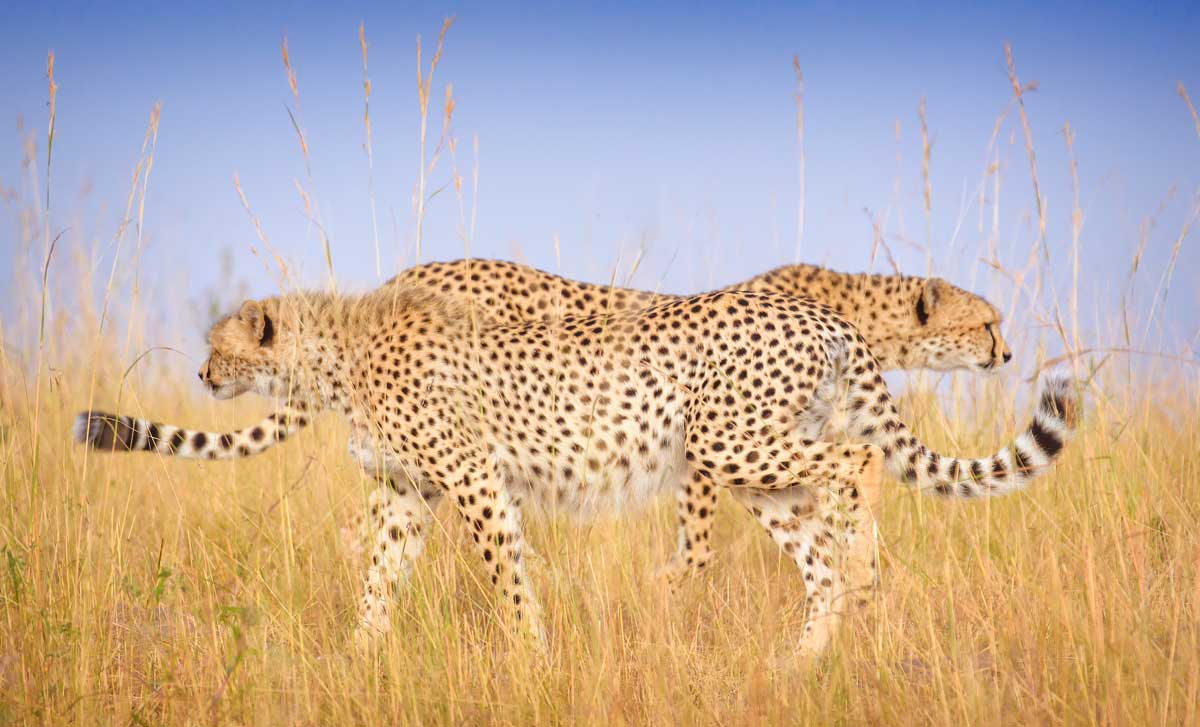 You are currently viewing Remembering Cheetahs – Travel Africa Magazine
